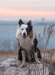 My Heart (Rainfire Photography) Tags: dog bordercollie petphotography heterochromia park lake toronto ontario nikon