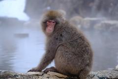 I'm not taking a bath (timtram) Tags: japan jigokudani monkey monkeys snow snowmonkeypark snowmonkeys winter yamanouchi