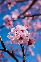 Kirschblüte 01 (Sebastian Ukas) Tags: 25mm frühling gx9 lumix kirschblüte