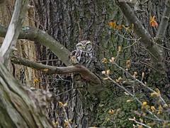 Little Owl.....Calke Abbey, Derbyshire (Scuba`Steve`) Tags:
