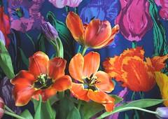 La stagione dei tulipani, veri e dipinti. (Melisenda2010) Tags: flora fiori tulipani coth primavera coth5