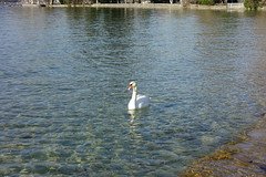 Swan @ Plage d'Albigny @ Annecy-le-Vieux (*_*) Tags: annecy europe france hautesavoie 74 spring printemps 2019 march annecylevieux plagedalbigny lakeannecy lacdannecy animal bird swan cygne nature
