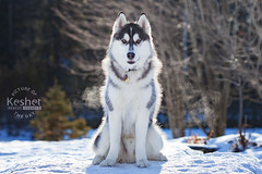 Picture of the Day (Keshet Kennels & Rescue) Tags: adoption dog ottawa ontario canada keshet large breed dogs animal animals pet pets field nature photography winter snow husky sit pose cold breathe breath sunshine backlight sun sunny