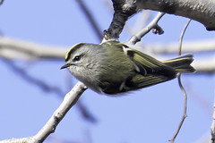 golden-crowned kinglet (material guy) Tags: goldencrownedkinglet heardfarm wayland massachusetts niksharpenerpro3