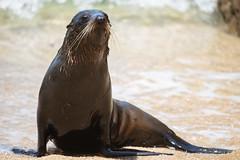 New Zealand Fur Seal (RichardJames1990) Tags: south australasian long nosed australian new zealand fur seal water mammal shiny wet playing beach sea 300mm prime nikon nikkor waterproof fat nz kaayk travel winderness wanderlust holiday surf splash