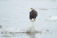 Eagle on Ice (johnbacaring) Tags: americanbaldeagle eagle raptor birdsofprey wildlife nature bird birds birding canon hudsonriver newyork ice river