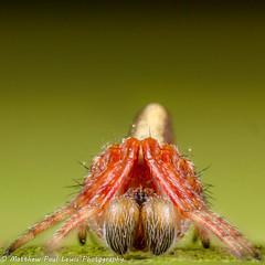Cyclosa conica portrait (Tubs McHam) Tags: dof matthewpaullewis cyclosa yn24ex mpe65 yongnuoyn24ex araneidae canon canon6d stacked yongnuo trashlineorbweaver macro cyclosaconica tubsmcham spider
