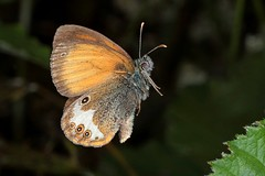 Rolf_Nagel-Fl-2821-Coenonympha_arcania (Insektenflug) Tags: schmetterling fliegend im flying flight airborne wing wildlife nature animal animals wild freilebend insects entomologie falter fauna fliegen flug flügel tagfalter natur insekt insekten insektenflug lepidoptera zoologie schweden sverige sweden öland insel island ostsee balticsea baltic insect imflug inflight minoltaerokkor75mm erokkor minolta rokkor 75mm envole en vole coenonymphaarcania pearlyheath weisbindigeswiesenvögelchen perlemorrandøje pärlgräsfjäril coenonympha arcania pearly heath weisbindiges wiesenvögelchen perlgrasfalter