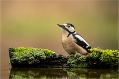 Great Spotted Woodpecker (Gertj123) Tags: birds bokeh hide holterberg arjantroost avian animal netherlands nature water wildlife winter canon