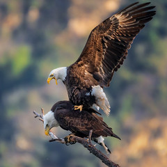 Happy Valentines Day (cbjphoto) Tags: photography avian bald raptor birdofprey eagle bird carljackson