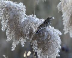 bruant des roseaux (tineandthecats@gmail.com) Tags: bruant roseaux oiseaux
