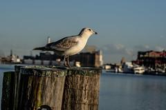DSC01154 (Joe Magar) Tags: baltimore gulls birds