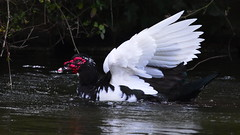Muscovy Duck spreads its wings (jamestapatio) Tags: