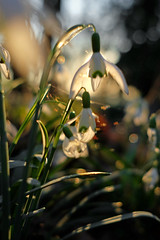 Snowdrops...playing with light (JinxiPhotography) Tags: flower snow drop light bokeh uk derby spring sunset plant nature glow backlight green white orange warm day sky