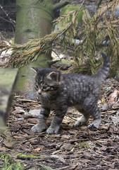 Scottish wildcat kitten, RZSS Highland Wildlife Park, Kincraig, Highland, Scotland, UK (Ministry) Tags: scottish wildcat kitten rzss highland wildlife park kincraig scotland uk felis silvestris zoo highlandtiger