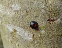 Chilocorus renipustulatus (rockwolf) Tags: chilocorusrenipustulatus kidneyspot ladybird beetle coccinellidae coccinelle coccinelledessaules insect radbrook shrewsbury shropshire rockwolf