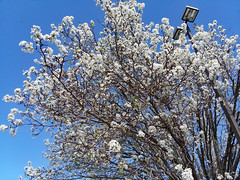 Bradford Pear Tree In Bloom. (dccradio) Tags: lumberton nc northcarolina robesoncounty outdoor outdoors outside sky bluesky streetlight light lightpole lamppost parkinglotlight tree treebranches branch branches floweringtree bradfordpeartree decorativetree bloom blooming blossoms blossom blossoming nature natural march spring springtime saturday afternoon saturdayafternoon goodafternoon samsung galaxy smj727v j7v cellphone cellphonepicture flower flowering floral plant whiteflower