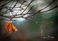 First buds of spring (Jeffrey Balfus (thx for 4 Million views)) Tags: sonya9mirrorless sonyalpha sonyilce9 fullframe 90mmf28macrogossprimelensmacro sel90m28g flowersplants