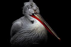 Pelican mood. (rudi.verschoren) Tags: pelican red zoo antwerp belgium canon colors contrast artistic europe eos exposure black animal park glow lines light long beak water nature