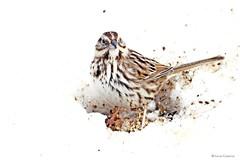 Song Sparrow (Anne Ahearne) Tags: wild bird animal nature wildlife songbird birdwatching feeding snow winter songsparrow closeup