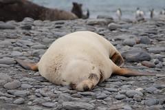 Blonde Antarctic Fur Seal (Linda Martin Photography) Tags: blonde arctocephalusgazella southgeorgia animal wildlife antarcticfurseal salisburyplain nature naturethroughthelens coth ngc alittlebeauty coth5 npc