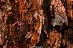 Cophixalus australis (Southern Ornate Nursery Frog) (lorenzobertola) Tags: cophixalus cophixalusaustralis southernornatenurseryfrog microhylid microhylidae nurseryfrog frog amphibian anuran anura