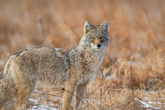 Hunting Grounds (scott5024) Tags: coyote winter wildlife cook county