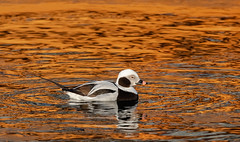Golden Reflection (hey its k) Tags: 2019 birds canal canon5dmarkiv duck hamilton liftbridgepier longtailedduck nature ontario canada ca imga1735 reflection