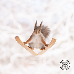 Red squirrel balancing on skis looking at the viewer (Geert Weggen) Tags: squirrel red animal backgrounds bright cheerful close color concepts conservation culinary cute damage day earth environment environmental equipment love valentine photo winter snow openmouth ski sport wintersport bispgården jämtland sweden geert weggen hardeko ragunda