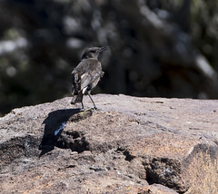 Mountain Wheatear (Myrmecocichla monticola)-9890 (Dave Krueper) Tags: africa aves bird birds landbird mowh muscicapidae passeriformes passerine southafrica wheatear