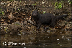 Mink AF7O1636 (David E Cassells) Tags: neovisonvison mink american canon1dx canonef300mmf28lisiiusm northern ireland naturephotography wildlifephotography carnivorous mammal