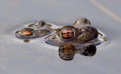Toad porn... (jameskearsley1) Tags: frogs frog toad toads matingtoads amphibians surfaced reflection rodleynaturereserve cute mating closeup shot capture nikonphotography nikond3300 nikon tamron150600mm tamron explore