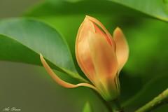 _52R8616 (Arthur's Dream (Dreamer:Thanks for +8.145.000 v) Tags: nature flower blossoms yellow macro thebestofmimamorsgroups