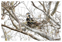 The happy couple (leo.roos) Tags: cormorant aalscholver phalacrocoraxcarbo greatcormorant greatblackcormorant nest monster westland a7iii sonyfe100400mmf4556gmoss sel100400gm sonyfe1004004556 darosa leoroos