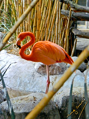 flamingo (ingcuevas) Tags: flamingo rosa ave naturaleza natura animal life vida bambu marco troncos bamboo naturalframe bird pink vibrant bright colorful color beautiful graceful cute amazing feathers rocks colores hermoso