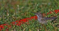 Sunday Morning Play Date (joecrowaz) Tags: hummingbirds birds sprinkler water shower phoenix arizona morning