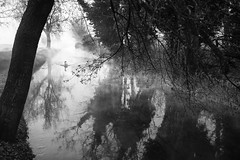 Swan in the mist (Roberto Spagnoli) Tags: mist fog landscape paesaggio water trees reflections cigno swan animal nature biancoenero blackandwhite bw fujix100t morning winter bird cold silence