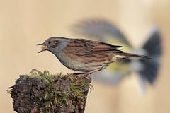 L'attacco (Marcello Giardinazzo) Tags: passerascopaiola cinciallegra avifauna wild natura uccelli birds bird italia