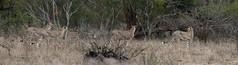 Cheetah - Jachtluipaard - panorama (Theo Locher) Tags: acinonyxjubatus cheeta cheetah jachtluipaard zoogdieren mammals mammifères säugetiere gepard guépard southafrica zuidafrika kruger krugernationalpark copyrighttheolocher