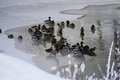 Chilling Ducks (samaelsworkshop) Tags: ifttt 500px water wading swan freshwater waist deep sport vacations seabird riverbank pond rippled red billed teal duck iceberg inflatable raft ruddy shallow river frozen standing splashing ice bird lake floating swimming snow capped snowcapped expanse dramatic landscape vast