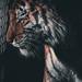 Amur Tiger Dartmoor zoo