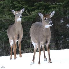 White-tails in winter (Frank Mantlik) Tags: adirondackpark newyork odocoileusvirginianus whitetaileddeer winter