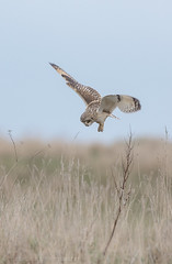 Short Eared Owl hunting (tommerchant1) Tags: owl seo shortearedowl birds birdofprey bop nature wildlife nikonuk field britishwildlife countryside hunting light nikonwildlife d7200