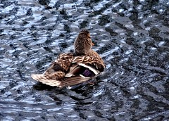 Duck (EcoSnake) Tags: ducks mallards water waves winter january idahofishandgame naturecenter