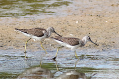 Greenshanks (Georgiegirl2015) Tags: greenshank birds nature wildlife waders seaton september2018 devon dellalack wildlifephotography sunny estuary wetland ef300mm blackholemarsh canon avian coastal 7dmkii fish