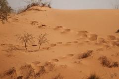 les dunes rouges du Kgalagadi (safrounet) Tags: paysage kgalagadi southafrica afriquedusud aride arid semiaride semiarid sable sand rouge red trace track vie dune emprunte piste ktp kgalagaditransfrontierpark