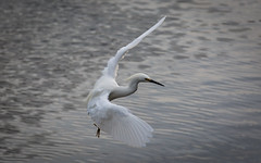 (seua_yai) Tags: bird egret northamerica california sanfrancisco thecity seuayai sanfrancisco2019