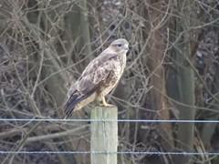 Buzzard (Poppy1385) Tags: buzzard bird