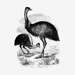 Cassowary shade drawing (Free Public Domain Illustrations by rawpixel) Tags: 1856 animal antique art artwork bird cassowary cc0 creativecommons0 drawing element engraved engraving fineart graphic graphite illustration ink john johnsherer lines name painting pencil publicdomain ratite retro shade shaded sherer sketch sketching vintage wild wildlife
