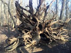 Roots out (afagen) Tags: washington dc washingtondc rockcreekpark nps tree